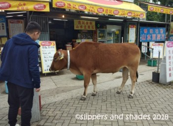 I guess the tame cow was already used to visitors that's why it didn't mind being taken a photo