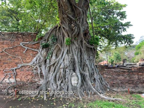 there are stunning temples to visit in Wat Mahathat but this Buddha head entwined in a root was its main draw