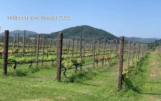 the grape plantation